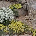 Juniper Sandwort