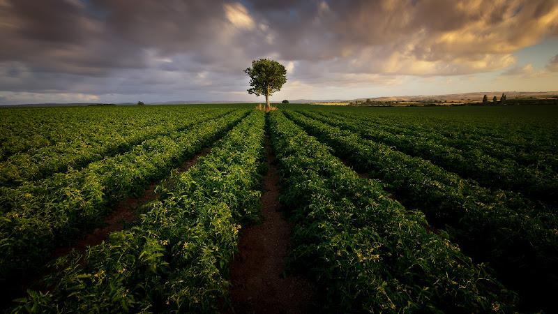 Campo di pomidori di Pasquale77