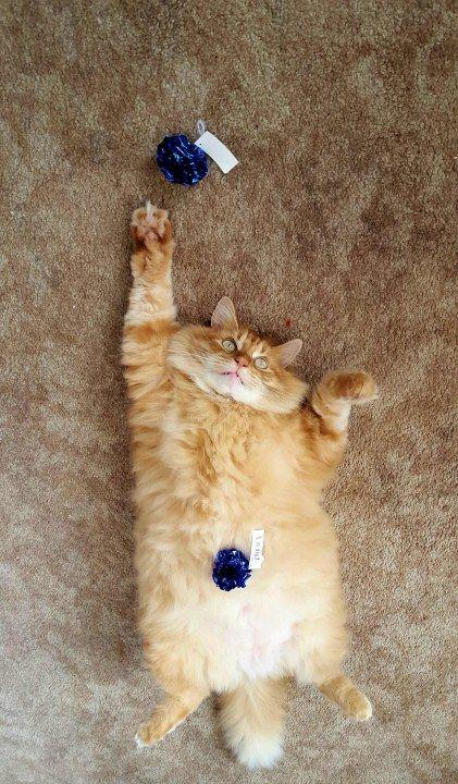 do cats have belly buttons