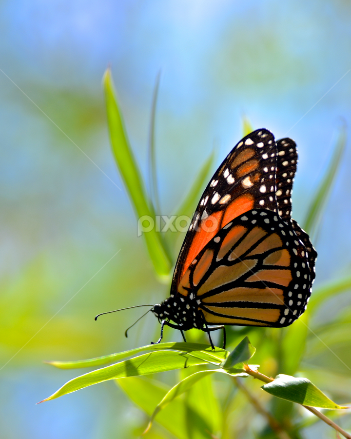 Monarch  by Allen Randall - Animals Insects & Spiders ( butterfly, monarch, wings antena )