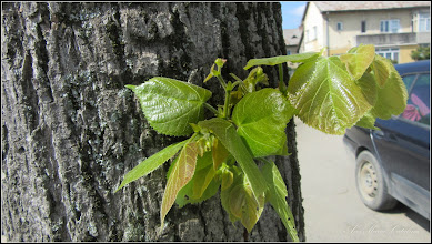 Photo: Fag  (Fagus sylvatica) - 2016.04.15 - de pe Str. Rapsodiei -