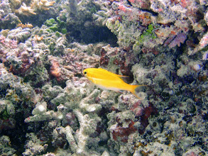 Photo: Scolopsis bilineatus (Juvenile Two-line Monocle Bream), Naigani Island, Fiji