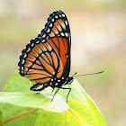 Viceroy Butterfly