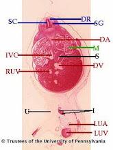 Photo: Nervous System (blue labels): DR - Dorsal Root SC - Spinal Cord SG - Spinal Ganglia  Circulatory System (red labels): DA - Descending Aorta DV - Ductus Venosus LUA - Left Umbilical Artery LUV - Left Umbilical Vein IVC - Inferior Vena Cava RUV - Right Umbilical Vein  Digestive System (black labels): I - Intestine U - Umbilicus S - Stomach  Urogenital System (green labels): M - Mesonephros