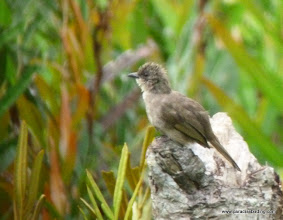 "Photo: Olive-winged Bulbul, endemic ""Hutz's"" subspecies; Labuk Bay"