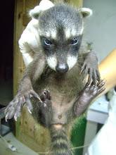 Photo: Baby female raccoon- orphan 2012-08-33