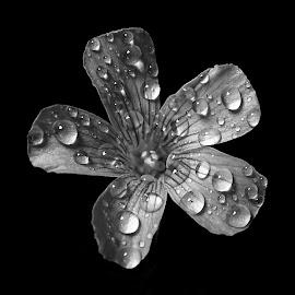 Wood sorrel  by Asif Bora - Black & White Flowers & Plants (  )