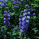Large leaved lupine