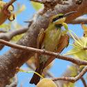 Rainbow Bee-eater (juvenile)