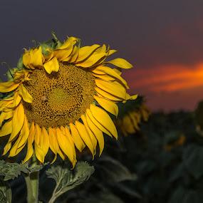 Sunflower sundown by Jim Talbert - Flowers Single Flower ( landscapes, sky, canon 5d mkiv, nature, kansas, beautiful kansas, sunflower, canon, flower, sunset, kansas magazine, landscape, sundown, only in kansas )