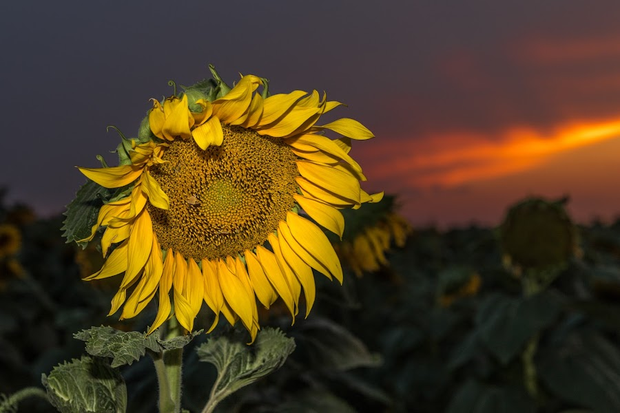 Sunflower sundown by Jim Talbert - Flowers Single Flower ( landscapes, sky, canon 5d mkiv, nature, kansas, beautiful kansas, sunflower, canon, flower, sunset, kansas magazine, landscape, sundown, only in kansas )