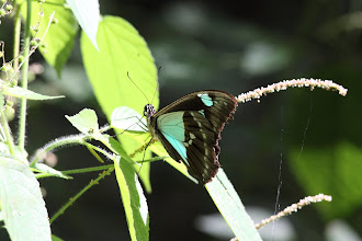 Photo: Green-patch swallowtail (Papilio phorcas)