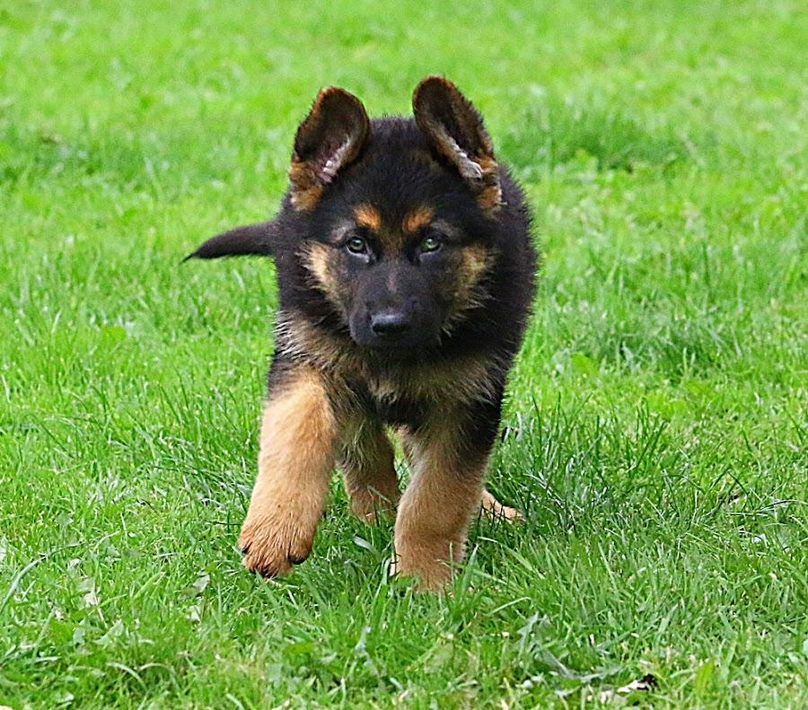 Putting My Best Foot Forward! by Chrissie Barrow - Animals - Dogs Running ( pet, fur, ears, legs, puppy, german shepherd, dog, tail, running, tan, black )
