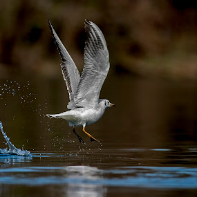 seagull by Riccardo Trevisani - Animals Birds ( riccardo trevisani, gabbiano, seagull, wildlife )