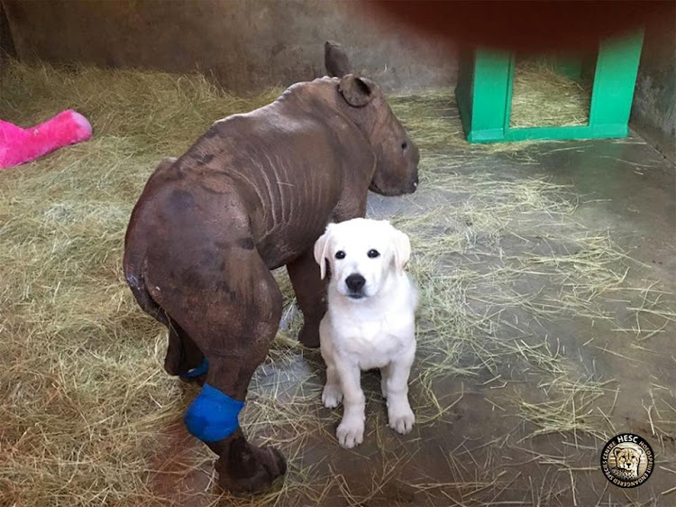 INSEPARABLE PAIR: Esme the baby rhino and David the Anatolian Shepherd dog have a tight bond since she arrived at the Hoedspruit Endangered Species Centre in Limpopo