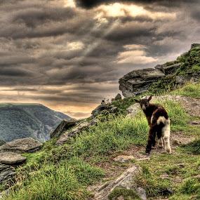 Lone Goat by Luke Aylen - Landscapes Mountains & Hills ( hill, cliffs, mountain, sunset, goat, devon, overcast, evening )