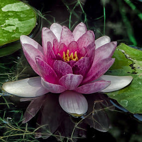 Water Lily by VJ Thomas - Nature Up Close Flowers - 2011-2013 ( water, reflection, pink, flower, lilly )