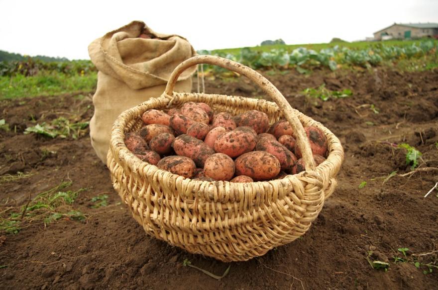 какой протравитель для картофеля лучше