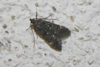 Photo: Dichomeris alacella  Lepidoptera > Gelechiidae