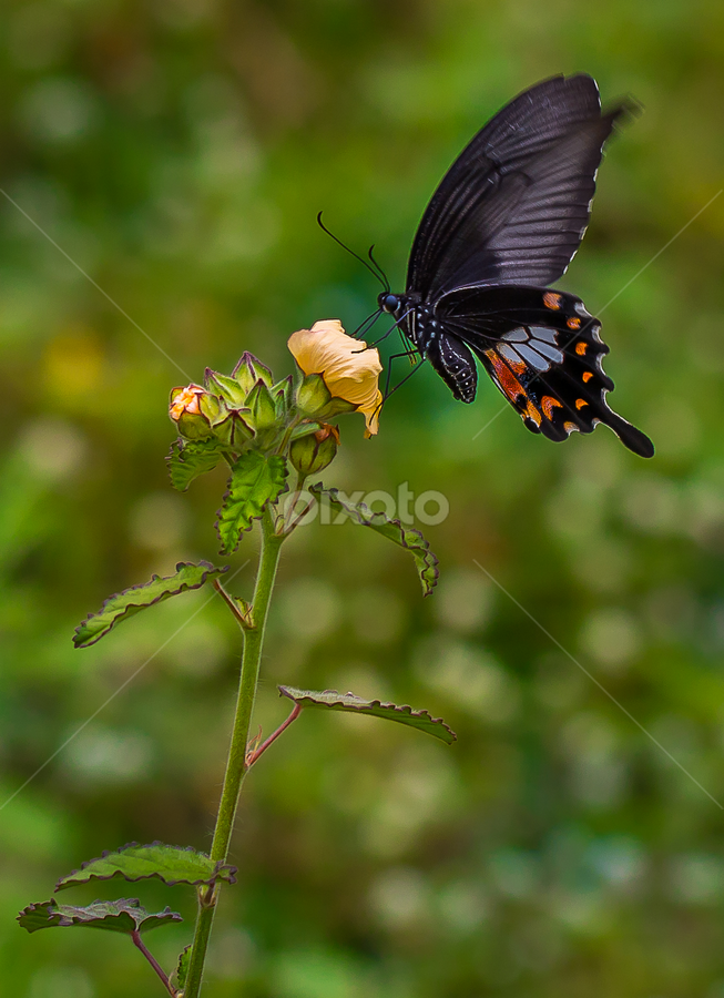 Butterfly On A Yellow Flower, by John Greene - Animals Insects & Spiders ( butterfly, macro, nature, green, beautiful, canon 100mm, beauty, yellow, john greene )