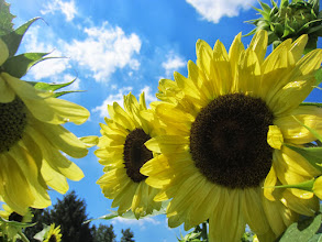 Photo: Yellow sunflowers on a sunny day at Cox Arboretum and Gardens of the Five Rivers Metroparks in Dayton, Ohio.
