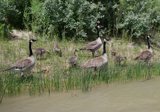 Photo: Canadian Geese family