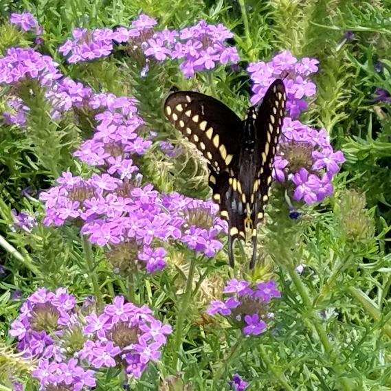 Eastern Black Swallowtail Male