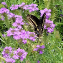 Eastern Black Swallowtail Male