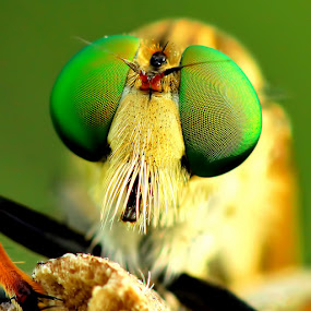 Robberfly by Sam Moshavi - Animals Insects & Spiders ( sony, bali, robberfly )