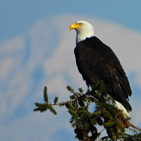 Bald Eagle, Arbutus Ridge by Campbell McCubbin - Animals Birds ( beak, feathers, bird, eagle, bald eagle,  )