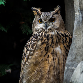 grand duc/great horned owl by Patrick Robert - Animals Birds ( grand duc, owl, hiboux, oiseaux, great horned owl,  )