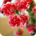 Carnation Wallpapers HD icon