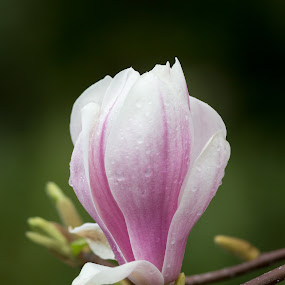 Neighborhood magnolias by Jordan Crick - Flowers Tree Blossoms ( canon, ef 70-300mm, canada, location, camera, plants, vancouver, lens, time, category, winter, nature, season, public, bc, flower )