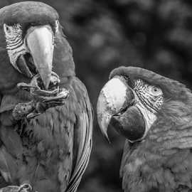 Let me have some by Garry Chisholm - Black & White Animals ( nature, macaw.bird, parrot, garry chisholm )