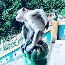 Mono rascándose en Malasia.