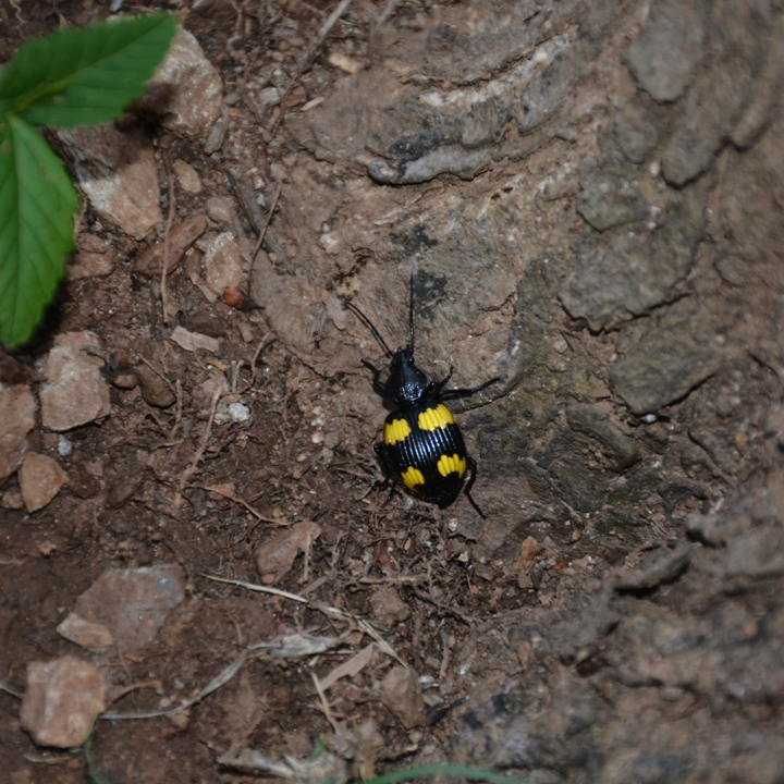 Yellow-spotted Ground Beetle