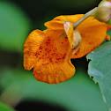 Jewelweed wildflower