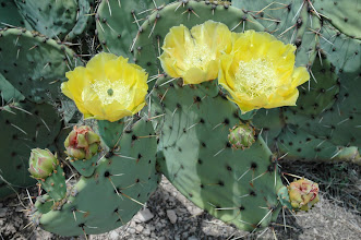Photo: ...and prickly pear cactus.