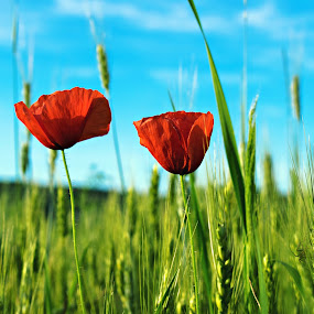 poppies by Ira Mdt - Flowers Flowers in the Wild ( #poopy #field #wheat #summersky #summercolors,  )