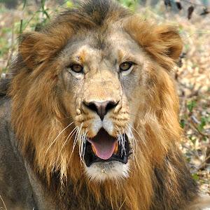 lion-looking-at-me.jpg