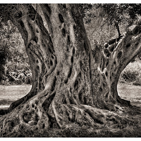 Olive Tree by Gernot Koller - Nature Up Close Trees & Bushes ( tree, black and white, greece, olives )
