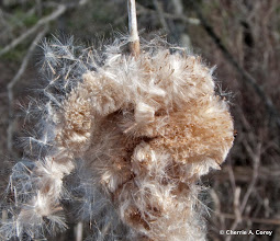 Photo: Overwintered cattail seeds