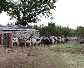 Photo: koze u selu Golubić, blizu Obrovca