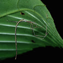 Comb-Footed Twig Spider