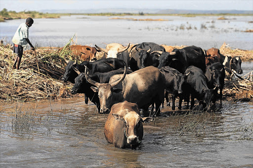 Cattle being guided away from the Limpopo River, which burst its banks in southern Mozambique about two weeks ago leading to severe flooding. Most of the farmland in the region was devastated by the floods, sparking fears of a food crisis Picture: KEVIN SUTHERLAND
