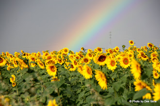 Photo: Day 101 - What's At the End of a Rainbow?  Sunflowers, What Else?!