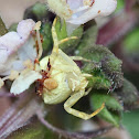 Flower Crab Spider ♀ and ♂