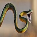Dangerous snake Live Wallpaper icon