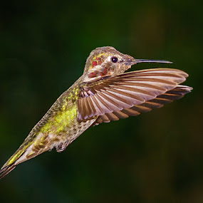 Anna's Hummingbird by Lee Davenport - Animals Birds (  )