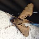 Dead leaf sphinx